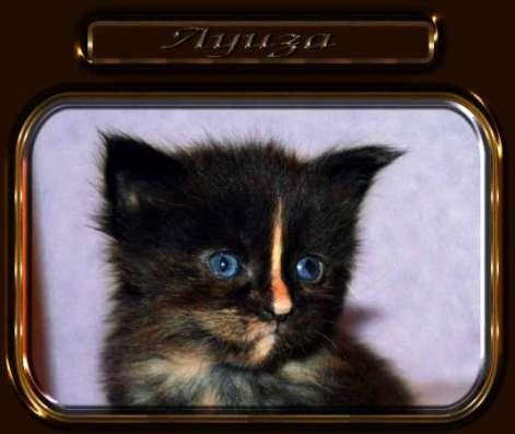 Мейн кун котята из питомника