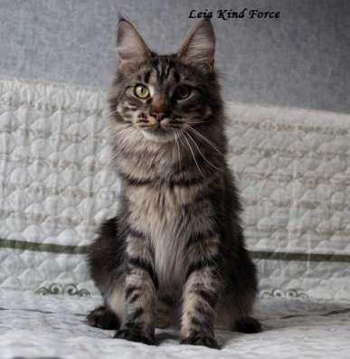 Кошечка мейн-кун дикого окраса