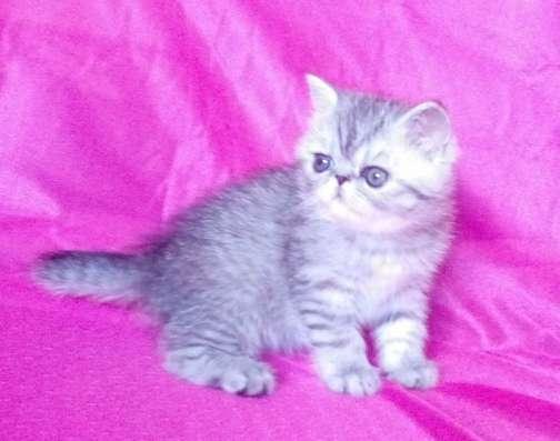 Клубные экзотические котята