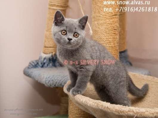 Британские плюшевые голубые котята с Москвы. Доставка
