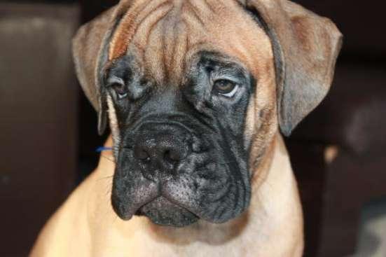 Продаются очаровательные щенки породы Бульмастиф в г. Евпатория Фото 1