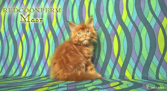 Котенок мейн кун красный солид. Шоу класс в Перми Фото 2