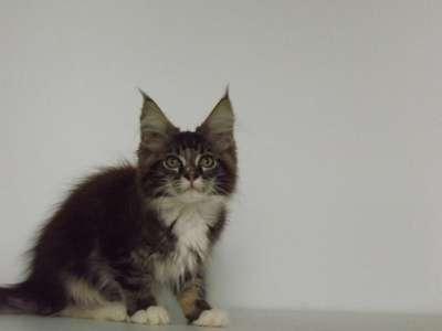 Котята породы мейн-кун в г. Элиста Фото 5