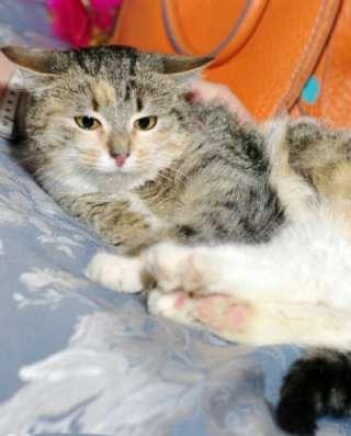 Отдам даром Трехцветный котенок Дусенька в Москве Фото 4