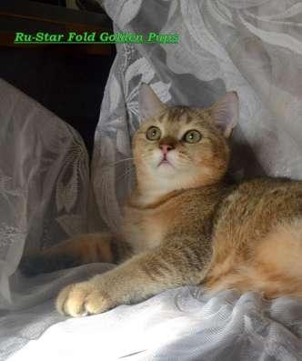 Шотландский золотистый тикированный котик