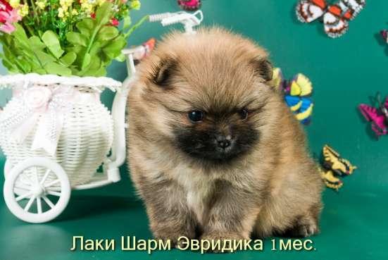 Породные щенки померанского шпица от питомника Лаки Шарм в Москве Фото 5