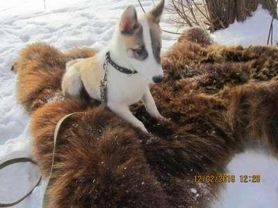 Щенок западносибирской лайки в Томске Фото 2