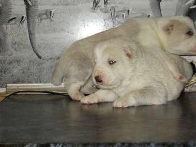 3-х недельные щенки алабая