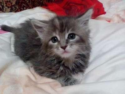 котята МЕЙН-КУН в Липецке Фото 4