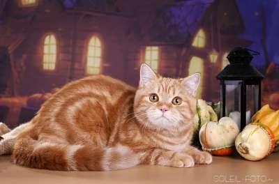 Шотландский котенок красный мрамор