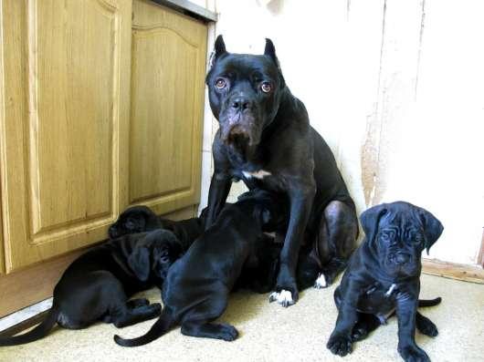 Чёрные щенки кане корсо