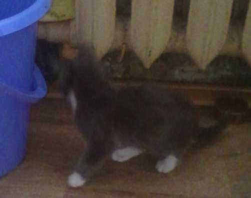 Метис Русской голубой кошки 1,5мес в Ногинске Фото 1