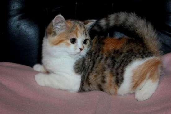 Красные мраморные вислоухие и прямоухие шотландские котята