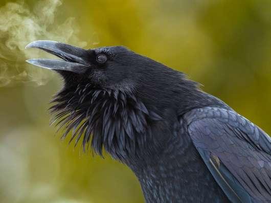 Продам чучело ворона 7тр в г. Самара Фото 2