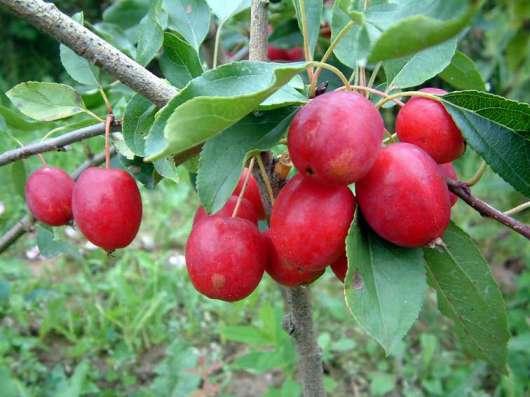 Саженцы райской яблони сортовые в г. Минск Фото 2