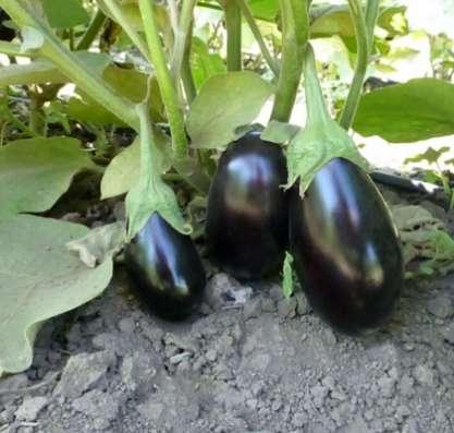 Семена баклажана PRADO F1 / ПРАДО F1 (Китано)