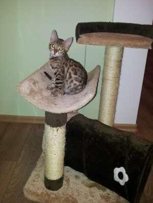 Бенгальские котята в Москве Фото 1