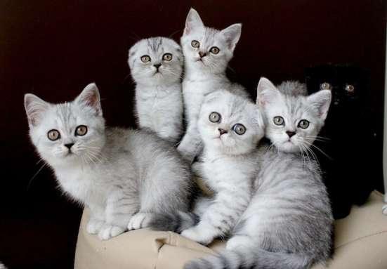 Серебристые котята