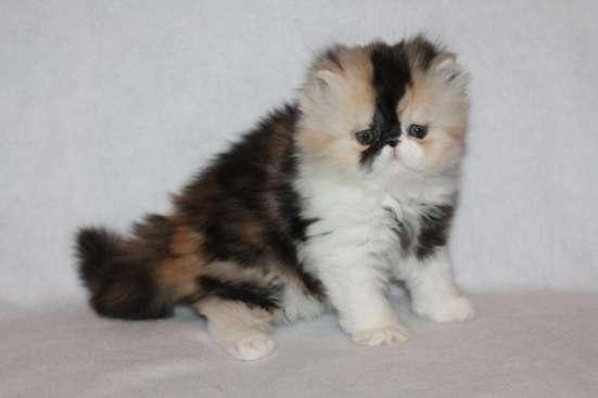 Персидские и экзотические котята