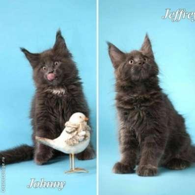 Мейн кун котята от большого международно в Волгограде Фото 4