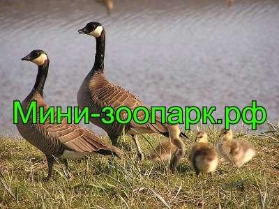 Казарки в Москве Фото 3