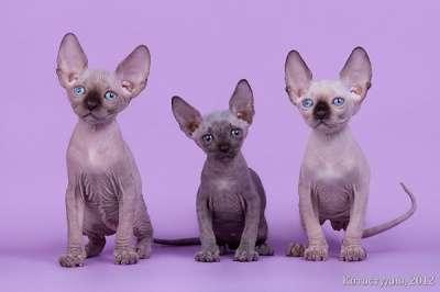 Роскошные из питомника котята сфинкс. в Томске Фото 3