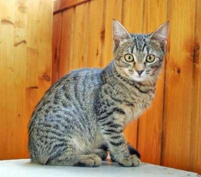 Отдам даром Жизнерадостная котенок Анфиса яркая тигр в Москве Фото 3