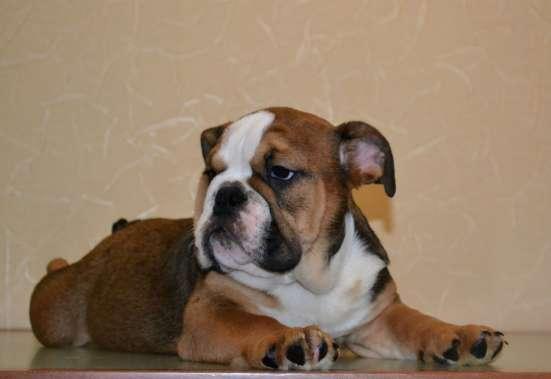 Шикарный щенок аглийского бульдога