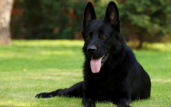 Предлагаю услуги дрессировки различных пород собак в Зеленограде