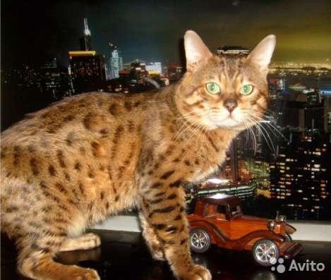 Бенгальские котята окрасы минк и розетка на золоте