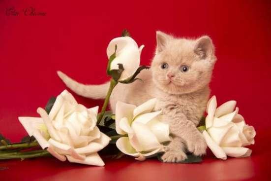 "Британские котята из питомника ""Elite Charme"" в Екатеринбурге Фото 4"