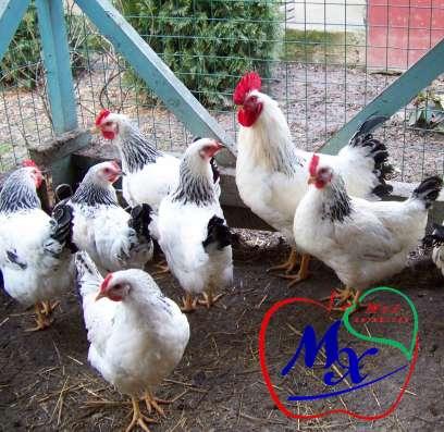Инкубационные яйца кур породы Адлерская серебристая