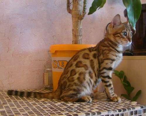 Бенгальская кошка Бриджит 6мес. в разведение или для души