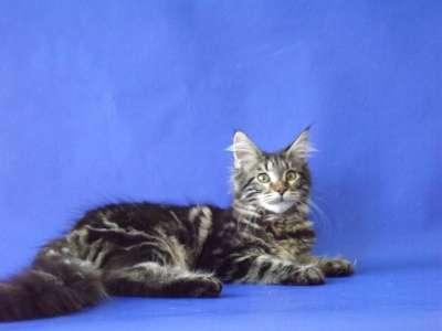 Мейн-кун котята в Геленджике Фото 5