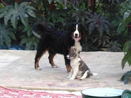 Породистый щенок Бернского зенненхунда