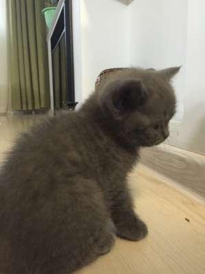 Британский котик в Кирове Фото 1